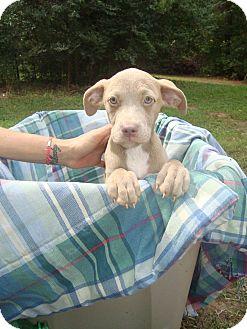 Labrador Retriever Mix Puppy for adoption in Old Bridge, New Jersey - Brandy