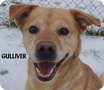 Labrador Retriever/Shepherd (Unknown Type) Mix Dog for adoption in Lapeer, Michigan - GULLIVER--WELL BEHAVED LAB MIX