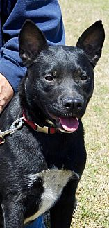 Boxer/Labrador Retriever Mix Dog for adoption in Horn Lake, Mississippi - Ralph