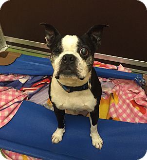 Boston Terrier Dog for adoption in San Francisco, California - Popeye