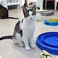 Domestic Mediumhair Cat for adoption in Belleville, Michigan - Oprah