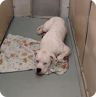 American Bulldog Mix Dog for adoption in Elyria, Ohio - Kennel #12