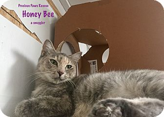 Domestic Shorthair Cat for adoption in Floral City, Florida - Honey Bee