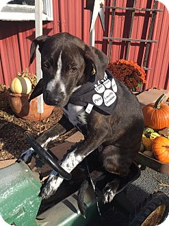 Bluetick Coonhound/Labrador Retriever Mix Puppy for adoption in Effort, Pennsylvania - Autumn