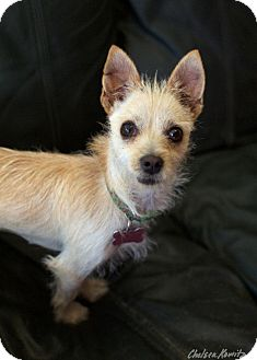 Terrier (Unknown Type, Small) Mix Dog for adoption in Canyon Country, California - Belinda