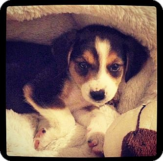 Australian Shepherd/Beagle Mix Puppy for adoption in Grand Bay, Alabama - Twinkle