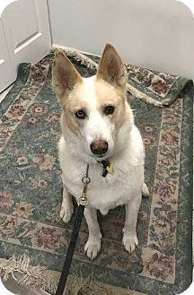 Husky/Shepherd (Unknown Type) Mix Dog for adoption in Huntley, Illinois - Koda