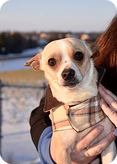 Chihuahua Mix Dog for adoption in Middleton, Wisconsin - Freddy
