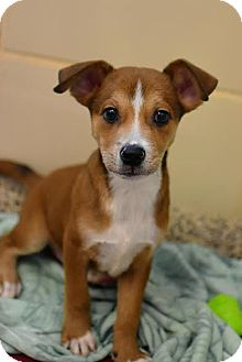 Chihuahua/Pit Bull Terrier Mix Dog for adoption in Aiken, South Carolina - Pence