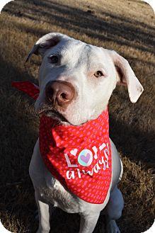 American Bulldog/Labrador Retriever Mix Dog for adoption in Chicago, Illinois - Macy