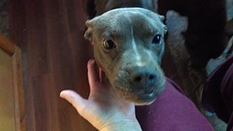 Boxer/Pit Bull Terrier Mix Dog for adoption in Millbrook, New York - Boxer Pitbull Mix Sal