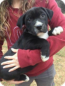 American Bulldog/Retriever (Unknown Type) Mix Puppy for adoption in Niagara Falls, New York - Zita (12 lb) Video!