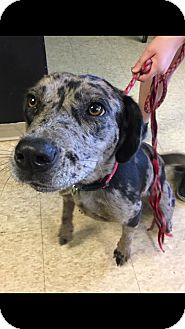Catahoula Leopard Dog/Black Mouth Cur Mix Dog for adoption in South Dennis, Massachusetts - Patches