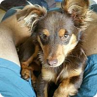 Adopt A Pet :: Ocho - Orange Lake, FL