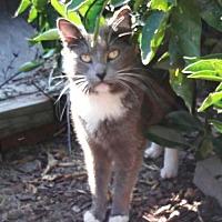 Domestic Mediumhair Cat for adoption in Richmond, California - Joseph
