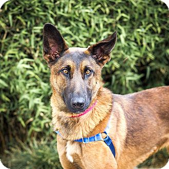 German Shepherd Dog Mix Dog for adoption in Berkeley, California - Francoise