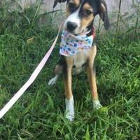 Hound (Unknown Type) Mix Dog for adoption in Spring City, Pennsylvania - Chasity