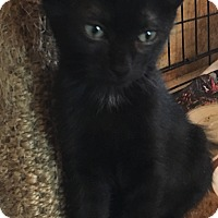 Domestic Shorthair Kitten for adoption in Staten Island, New York - Sam