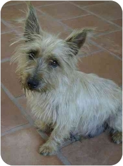 Cairn Terrier Dog for adoption in Los Angeles, California - Lena