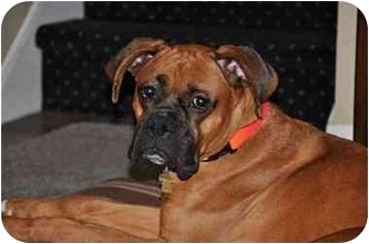 Boxer Dog for adoption in Middlesex, New Jersey - Tyson