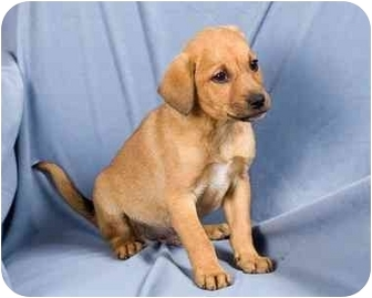 Labrador Retriever/Boxer Mix Puppy for adoption in Anna, Illinois - LATTE