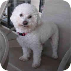 Bichon Frise Mix Dog for adoption in La Costa, California - Wally
