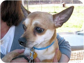Chihuahua Dog for adoption in Mahwah, New Jersey - Rusty
