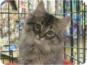 Domestic Mediumhair Kitten for adoption in The Colony, Texas - Pete