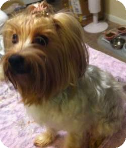 Yorkie, Yorkshire Terrier Dog for adoption in Statewide and National, Texas - Joli