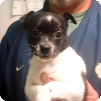 Jack Russell Terrier Mix Puppy for adoption in Manassas, Virginia - Squizzie