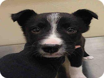 Border Collie Mix Puppy for adoption in Ogden, Utah - Rob