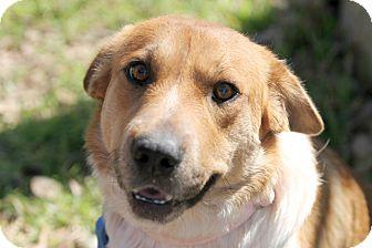 Australian Shepherd/Collie Mix Dog for adoption in Austin, Texas - Havana