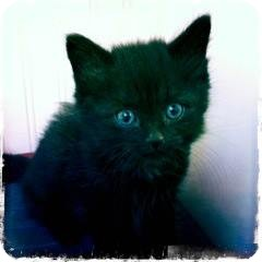 Domestic Shorthair Kitten for adoption in Huntsville, Ontario - Cole - Cute Kitten!