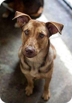 Vizsla/Shepherd (Unknown Type) Mix Dog for adoption in Brooklyn, New York - Vixen