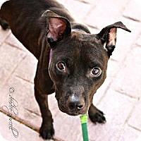 Adopt A Pet :: Polly Pocket - Gilbert, AZ