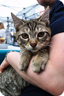 Domestic Shorthair Kitten for adoption in NEW YORK, New York - Choux (the kitten love bug)