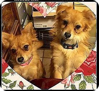 Pomeranian Mix Dog for adoption in West Los Angeles, California - Foxy & Midgie