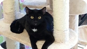 Domestic Shorthair Cat for adoption in Maryville, Tennessee - Sammy
