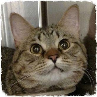 Domestic Shorthair Cat for adoption in Pueblo West, Colorado - Sydney