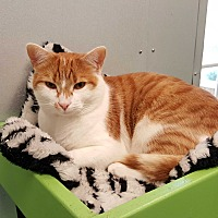 Domestic Shorthair Cat for adoption in Barnwell, South Carolina - Twix