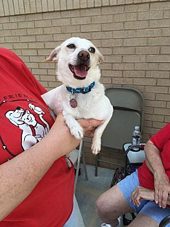 Jack Russell Terrier/Chihuahua Mix Dog for adoption in Greensboro, Georgia - Fala