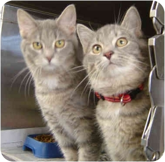 Domestic Mediumhair Cat for adoption in Overland Park, Kansas - Cappuccino & Hazelnut