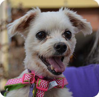 Maltese/Poodle (Miniature) Mix Dog for adoption in Phoenix, Arizona - Polly