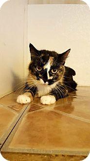 Domestic Longhair Cat for adoption in Fairmont, West Virginia - Coco