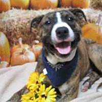 Pit Bull Terrier Dog for adoption in Fairfield, California - HORTON