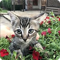 Adopt A Pet :: Stripes - Kennedale, TX