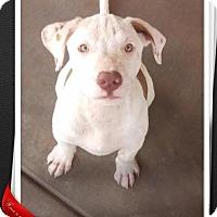 Adopt A Pet :: Beemer - Mesa, AZ