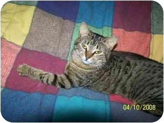 Domestic Shorthair Cat for adoption in Fort Worth, Texas - joy