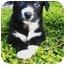 Photo 3 - Border Collie/Newfoundland Mix Puppy for adoption in Santa ana, California - PIXIE