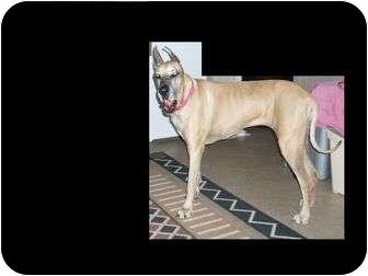 Great Dane Dog for adoption in Phoenix, Arizona - Jenny